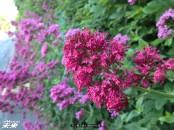 マン島で良く見かけた花